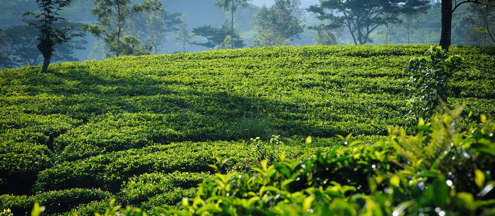 Ceylonn Tea Exports