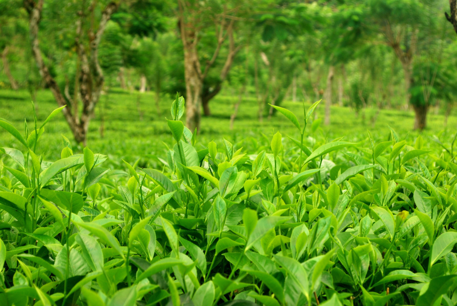 Sri Lankan tea plantations